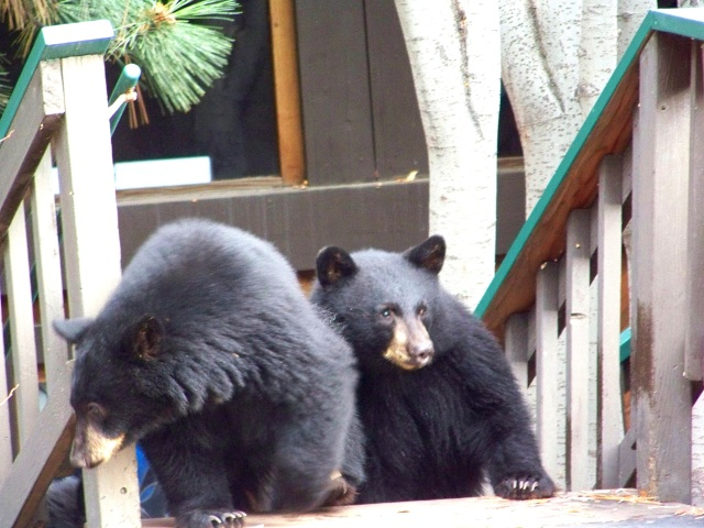 Bears at your house