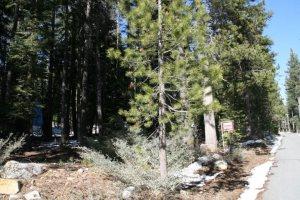 jeffrey pine 1