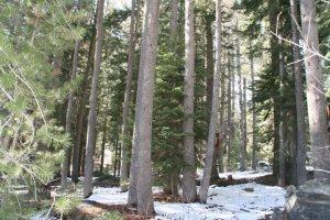 Jeffrey pine 2