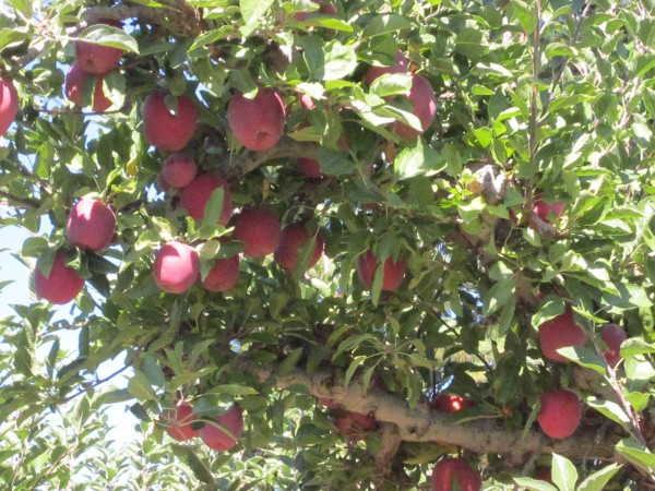 The Apple Growers of Apple Hill California
