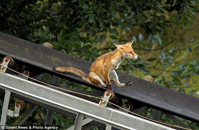 Funtastic Mr Fox Young cub has the time of its life sliding down quarry conveyor belt
