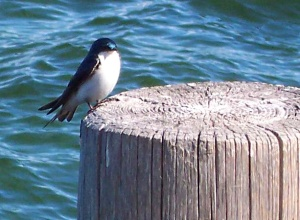 Starling on the pier at Sugar Pine Point State Park