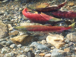 Spawning Kokanee Salmon at Taylor Creek