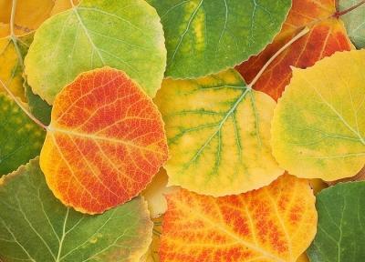 Leaf detail near Telluride Colorado.