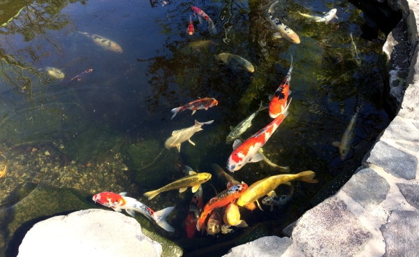high hand koi pond